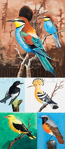 Birds, including (from top to bottom): bee-eater, pied flycatcher, hoopoe, golden oriole, and redstart.  Original artwork for Once Upon a Time.  Lent for scanning by the Illustration Art Gallery.