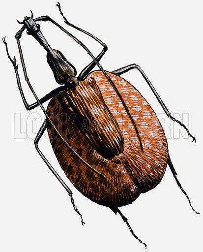 Weevil of the beetle family. Original artwork for illustration in Treasure (29 October 1966).