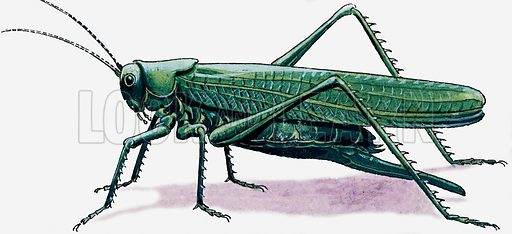 Grasshopper. Original artwork for illustration in Treasure (29 October 1966).