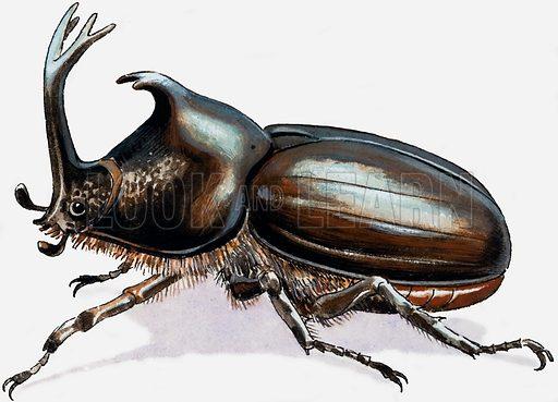 Stag Beetle. Original artwork for illustration in Treasure (29 October 1966).