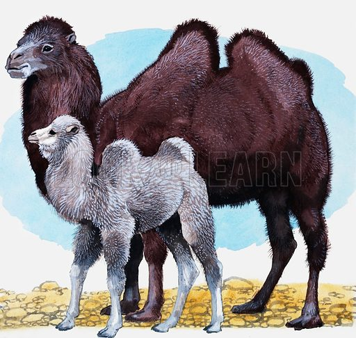 Dromedary.  Original artwork for Treasure or Look and Learn.  Lent for scanning by the Illustration Art Gallery.