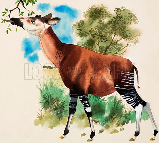 Okapi. Original artwork for Look and Learn or Treasure.