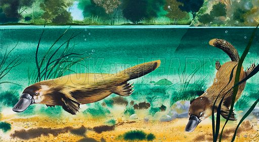 Platypus.  Original artwork for illustration in Look and Learn.  Lent for scanning by the Illustration Art Gallery.