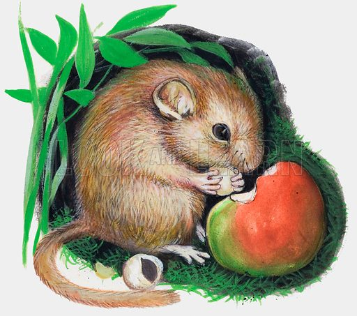 Mouse chewing apple.  Original artwork for one of the Treasure books of animals.  Lent for scanning by the Illustration Art Gallery.