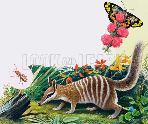 Numbat.  Original artwork for illustration on p25 of Treasure issue no 337.  Lent for scanning by the Illustration Art Gallery.