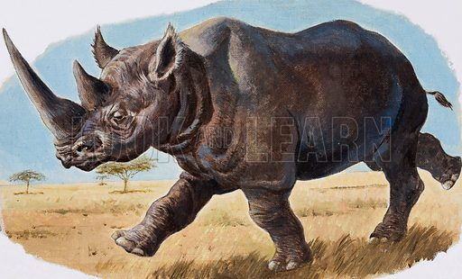 Charging black rhinoceros.  Original artwork for illustration on p7 of Look and Learn issue no 980 (20 December 1980).  Lent for scanning by the Illustration Art Gallery.