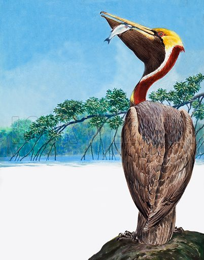 Pelican.  Original artwork for illustration on p12 of Treasure issue no 123.  Lent for scanning by the Illustration Art Gallery.