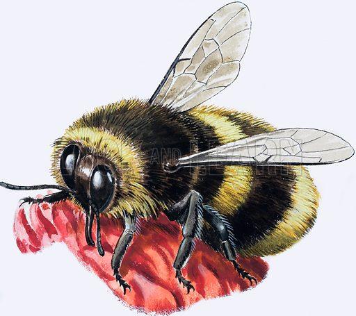 Honey bee. Original artwork for Treasure.