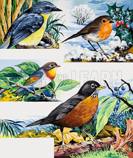 Robins.  From top to bottom: the yellow robin of Australia; Robin Redbreast of England; the Pekin Robin found in the Himalayas; and the American Robin.  Original artwork for illustrations on p9 of Once Upon a Time issue no 119.  Lent for scanning by the Illustration Art Gallery.