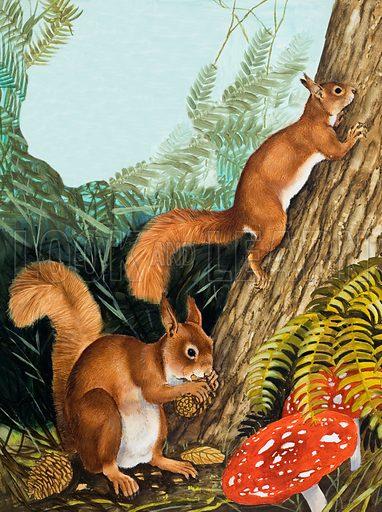 Red squirrel, picture, image, illustration