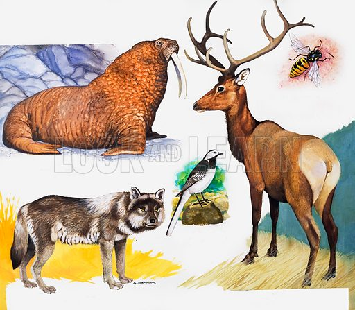 W is for walrus, wagtail, wasp, wapiti and wolf, with pictures. Original artwork for cover of Treasure issue no 186.  Lent for scanning by the Illustration Art Gallery.