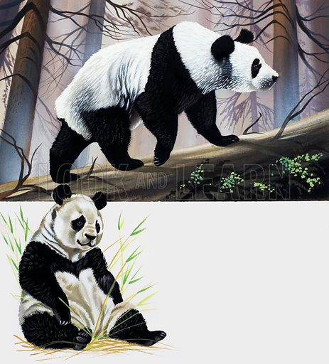 Giant Panda.  Lent for scanning by the Illustration Art Gallery.
