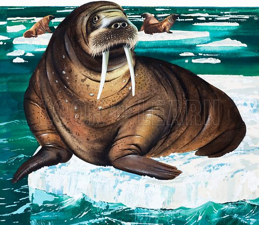Wonders of Nature: Why Laugh at the Walrus? From Look and Learn no. 73 (8 June 1963). Original artwork loaned for scanning by the Illustration Art Gallery.