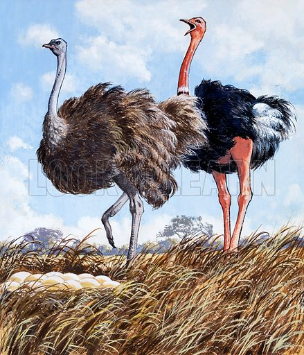 Ostriches Nest. Original artwork for illustration on p4 of Once Upon a Time issue no 23.  Lent for scanning by the Illustration Art Gallery.