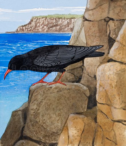 "Chough.  This little Chough (pronounced ""chuff""), with its glossy black feathers and red legs and beak, is a rare bird and not often seen.  It hides itself away among cliffs and mountains, where it builds its nests.  Original artwork for illustration on p5 of Once Upon a Time issue no 48.  Lent for scanning by the Illustration Art Gallery."