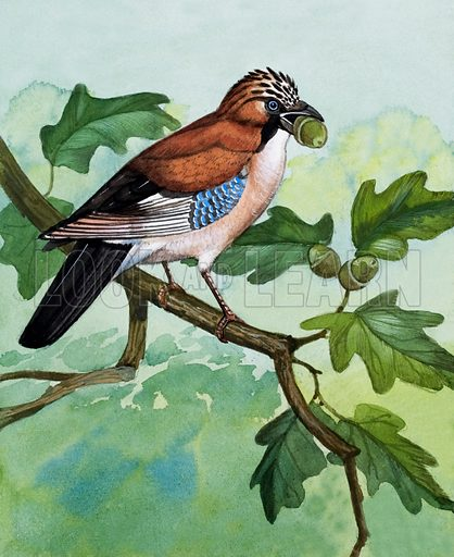 Jay.  The Jay is gay and colourful but very shy.  It spends most of its time in the trees.  It likes seeds and nuts to eat, especially acorns which it collects and buries as food for winter.  Original artwork for illustration on p5 of Once Upon a Time issue no 48.  Lent for scanning by the Illustration Art Gallery.