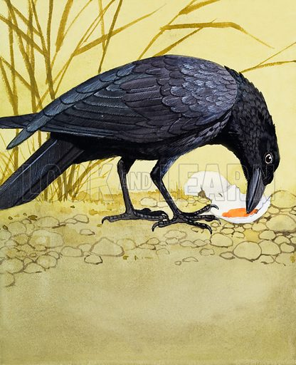 "Carrion Crow.  Carrion Crows get their name because they will eat dead animals - known as ""carrion"".  They eat all kinds of other things, mice, rats, frogs, fruit and seeds, as well.  They are seen in both town and country. Original artwork for illustration on p5 of Once Upon a Time issue no 48.  Lent for scanning by the Illustration Art Gallery."