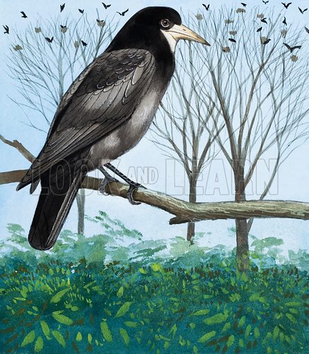 Rook.  A group of large, black birds wheeling across the sky, cawing harshly, is likely to be a flock of Rooks.  Their nests, all built together at the top of a group of trees, are called a rookery.  Original artwork for illustration on p4 of Once Upon a Time issue no 48.  Lent for scanning by the Illustration Art Gallery.