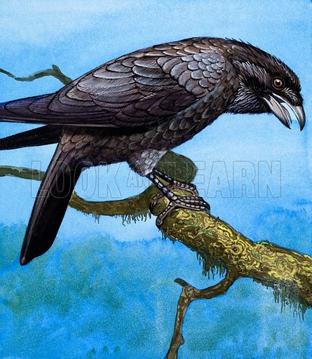 Raven.  The biggest of the crow family is the Raven.  Its harsh croak is unpleasant, but it is a good mimic and can often imitate other birds.  For centuries, tame Ravens have been kept in the Tower of London.