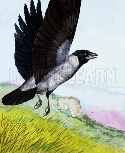 Hooded Crow.  The Hooded Crow has a black head, but grey back and underparts.  It eats anything, from seeds to small animals.  Its nest is high up in a tall tree and the bird often returns to it for a number of years.   Original artwork for illustration on p4 of Once Upon a Time issue no 48.  Lent for scanning by the Illustration Art Gallery.