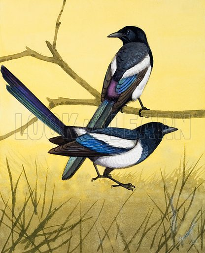 Magpie.  The graceful Magpies hop about on the ground looking for insects, or other birds' eggs to eat.  Magpies are clever and young ones can be tamed and kept as pets.  They can even be taught a few words.  Original artwork for illustration on p4 of Once Upon a Time issue no 48.  Lent for scanning by the Illustration Art Gallery.
