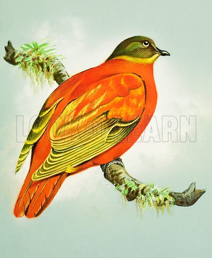 Orange Dove (Fiji Islands). Original artwork for illustrations on pp 4-5 of Once Upon a Time issue no 113.  Lent for scanning by the Illustration Art Gallery.