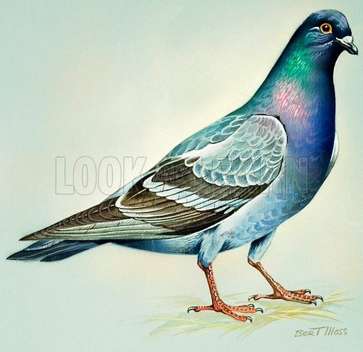 Rock Dove (North America). Original artwork for illustrations on pp 4-5 of Once Upon a Time issue no 113.  Lent for scanning by the Illustration Art Gallery.