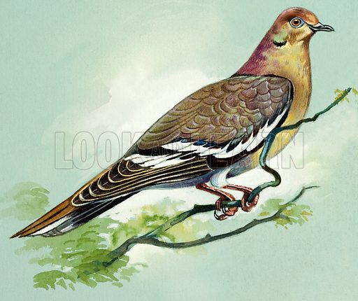 White Winged Dove (West Indies). Original artwork for illustrations on pp 4-5 of Once Upon a Time issue no 113.