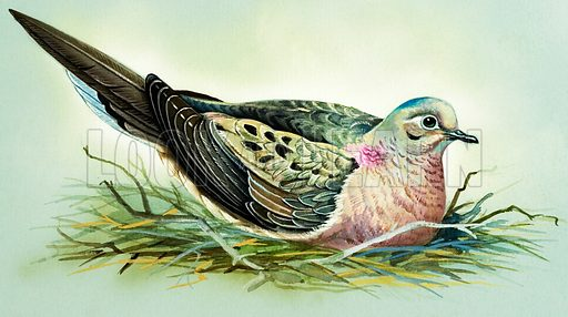 Mourning Dove (North America).  Original artwork for illustrations on pp 4-5 of Once Upon a Time issue no 113.  Lent for scanning by the Illustration Art Gallery.