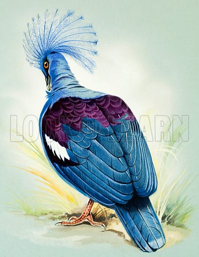 Blue Crowned Pigeon (New Guinea).  Original artwork for illustrations on pp 4-5 of Once Upon a Time issue no 113.  Lent for scanning by the Illustration Art Gallery.