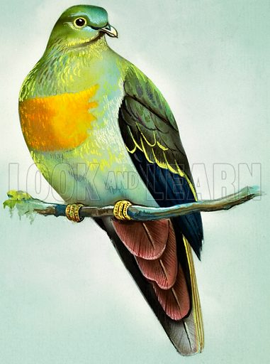 Large Green Pigeon (Malay Peninsula).  Original artwork for illustrations on pp 4-5 of Once Upon a Time issue no 113.  Lent for scanning by the Illustration Art Gallery.