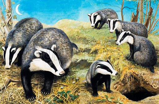 Nature Wonderland: Badgers. From Treasure no. 364 (3 January 1970).