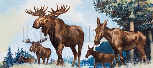 Moose family. From Look and Learn or Treasure (date unknown). Original artwork loaned for scanning by the Illustration Art Gallery.