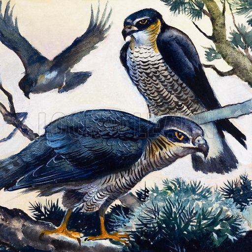 Sparrowhawks. Original artwork loaned for scanning by the Illustration Art Gallery.