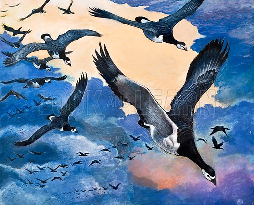 Sea Birds. From Look and Learn (date unknown). Original artwork loaned for scanning by the Illustration Art Gallery.