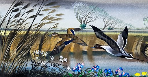 Ducks in flight. Original artwork loaned for scanning by the Illustration Art Gallery.