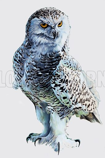Tawny Owl. From Look and Learn Summer Special (date unknown). Original artwork loaned for scanning by the Illustration Art Gallery.