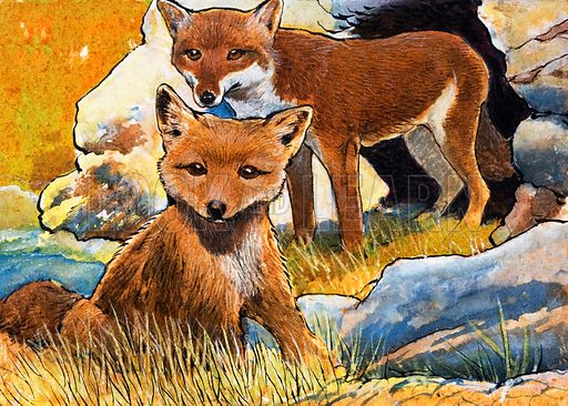 Wind From the North: Facts about Foxes. From Look and Learn no. 258 (24 December 1966). Original artwork loaned for scanning by the Illustration Art Gallery.