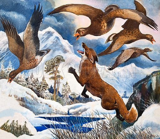 Fox attacking geese (illustration, picture, art, artwork: G W Backhouse)
