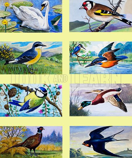 British birds montage. Original artwork loaned for scanning by the Illustration Art Gallery.