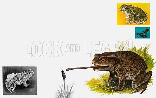 Nature's Kingdom: Toads – Plain and Patient. From Look and Learn no. 1007 (27 June 1981).