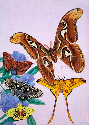 Moths.  Original artwork for illustration on p81 of Tell Me Why Annual 1972.  Lent for scanning by the Illustration Art Gallery.