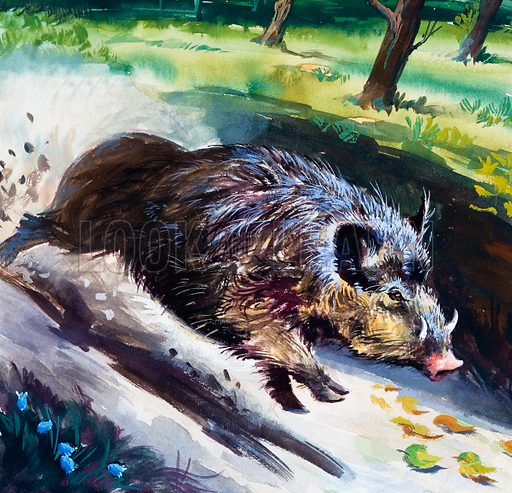 Wild Boar. Original artwork loaned for scanning by the Illustration Art Gallery.