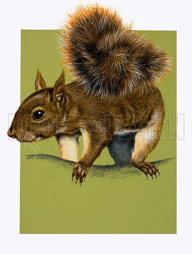 Red Squirrel.  Lent for scanning by the Illustration Art Gallery.