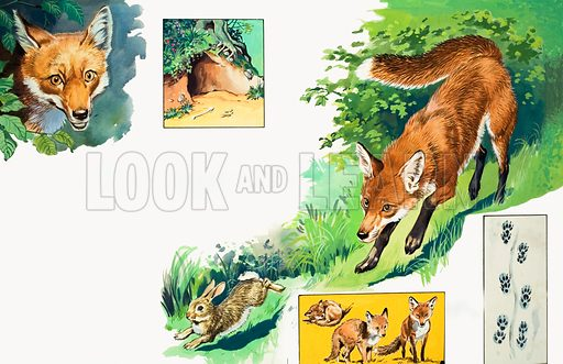 The Fox. Original artwork loaned for scanning by the Illustration Art Gallery.