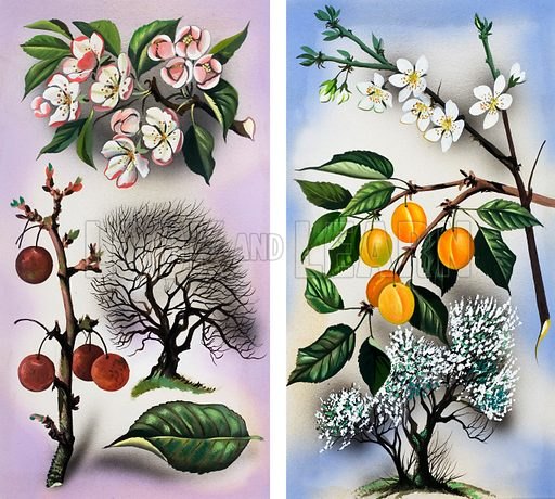 Cherry and Apricot trees. Original artwork loaned for scanning by the Illustration Art Gallery.