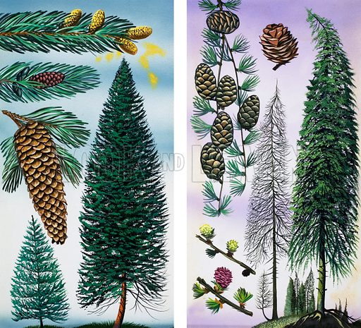Trees: Douglas Fir and Scots Pine. Original artwork  loaned for scanning by the Illustration Art Gallery.