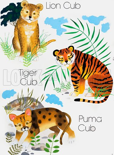 Cubs of Big Cats. Original artwork loaned for scanning by the Illustration Art Gallery.