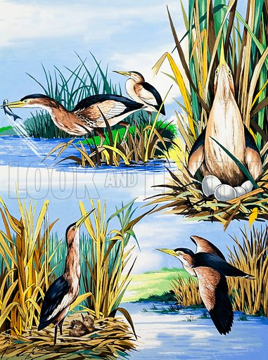 River birds montage. From Once Upon a Time 131. Original artwork loaned for scanning by the Illustration Art Gallery.