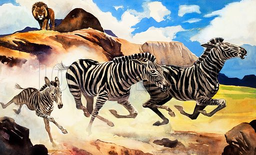 Lion hunting zebras (illustration, picture, art: G W Backhouse)